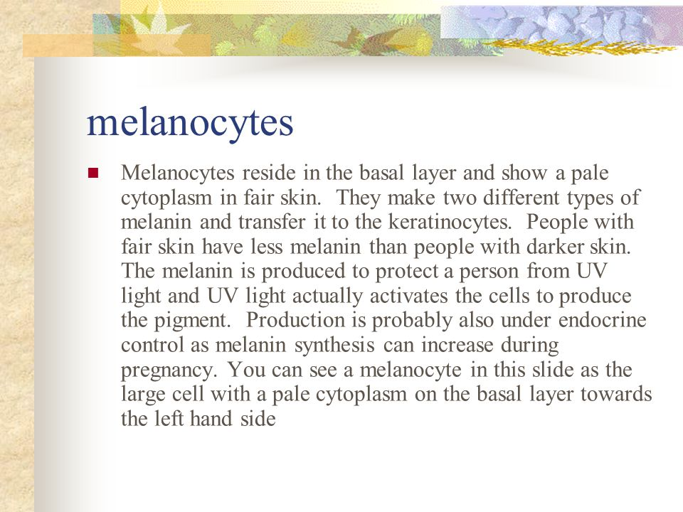 melanocytes Melanocytes reside in the basal layer and show a pale cytoplasm in fair skin.