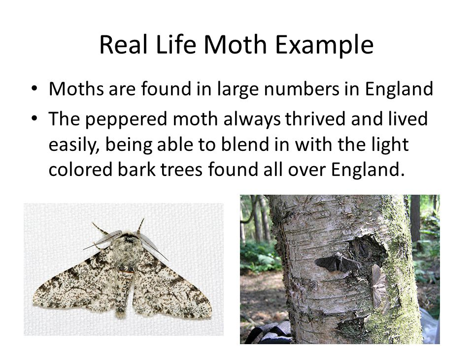 Real Life Moth Example Moths are found in large numbers in England The peppered moth always thrived and lived easily, being able to blend in with the light colored bark trees found all over England.