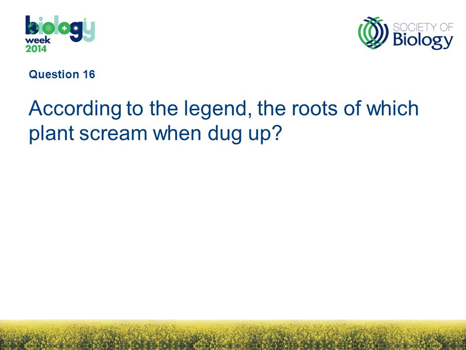 Question 16 According to the legend, the roots of which plant scream when dug up?