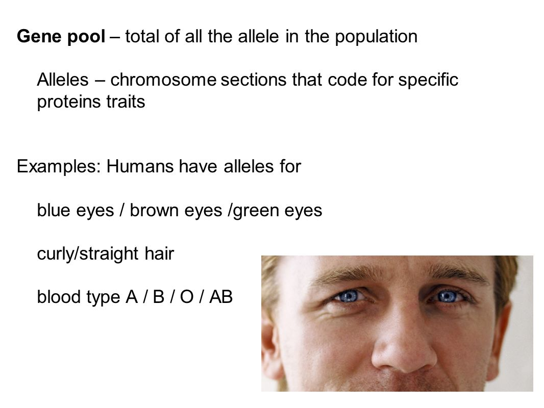 Gene pool – total of all the allele in the population Alleles – chromosome sections that code for specific proteins traits Examples: Humans have allel