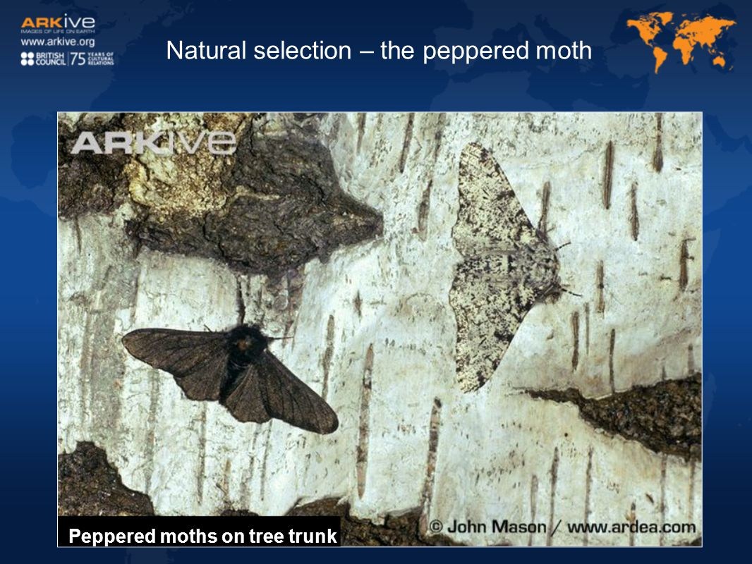 Peppered moths on tree trunk Natural selection – the peppered moth