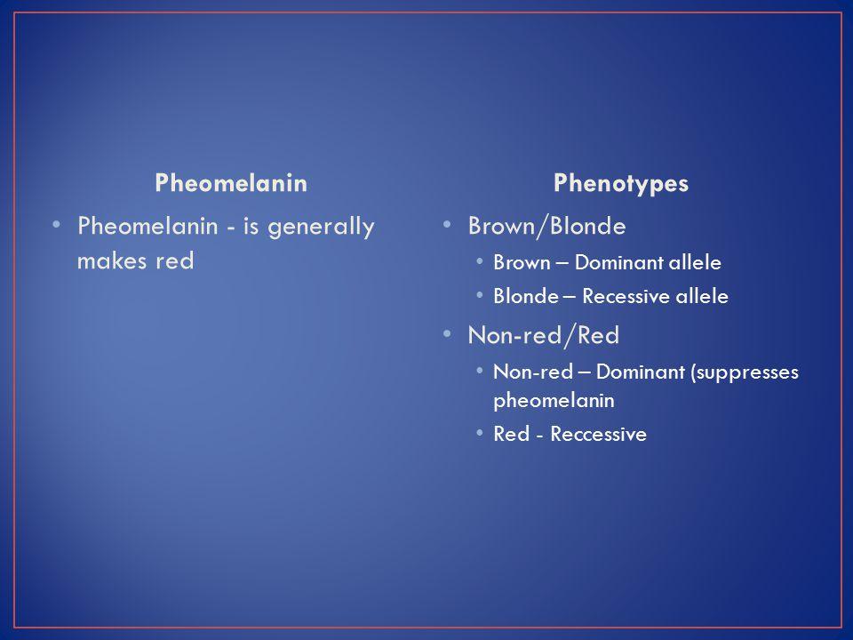 Pheomelanin Pheomelanin - is generally makes red Phenotypes Brown/Blonde Brown – Dominant allele Blonde – Recessive allele Non-red/Red Non-red – Dominant (suppresses pheomelanin Red - Reccessive