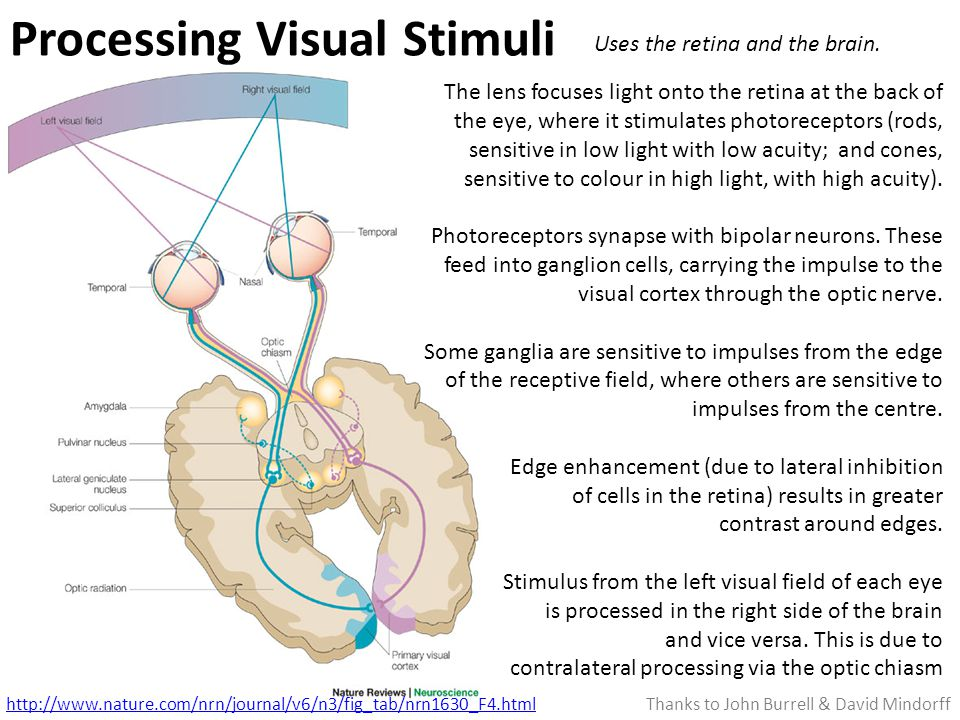 Processing Visual Stimuli http://www.nature.com/nrn/journal/v6/n3/fig_tab/nrn1630_F4.html The lens focuses light onto the retina at the back of the eye, where it stimulates photoreceptors (rods, sensitive in low light with low acuity; and cones, sensitive to colour in high light, with high acuity).