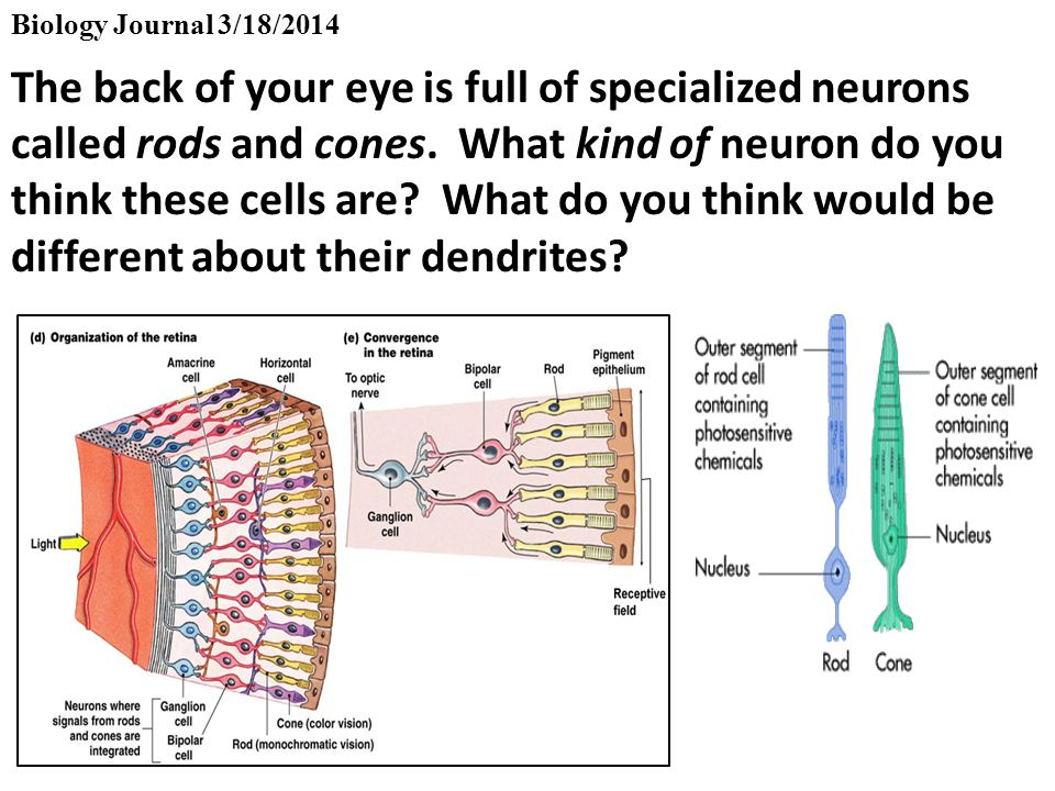 Biology Journal 3/18/2014 The back of your eye is full of specialized neurons called rods and cones.