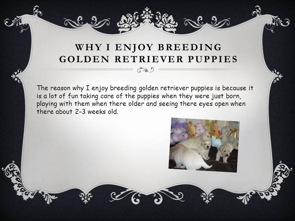 WHY I ENJOY BREEDING GOLDEN RETRIEVER PUPPIES The reason why I enjoy breeding golden retriever puppies is because it is a lot of fun taking care of th