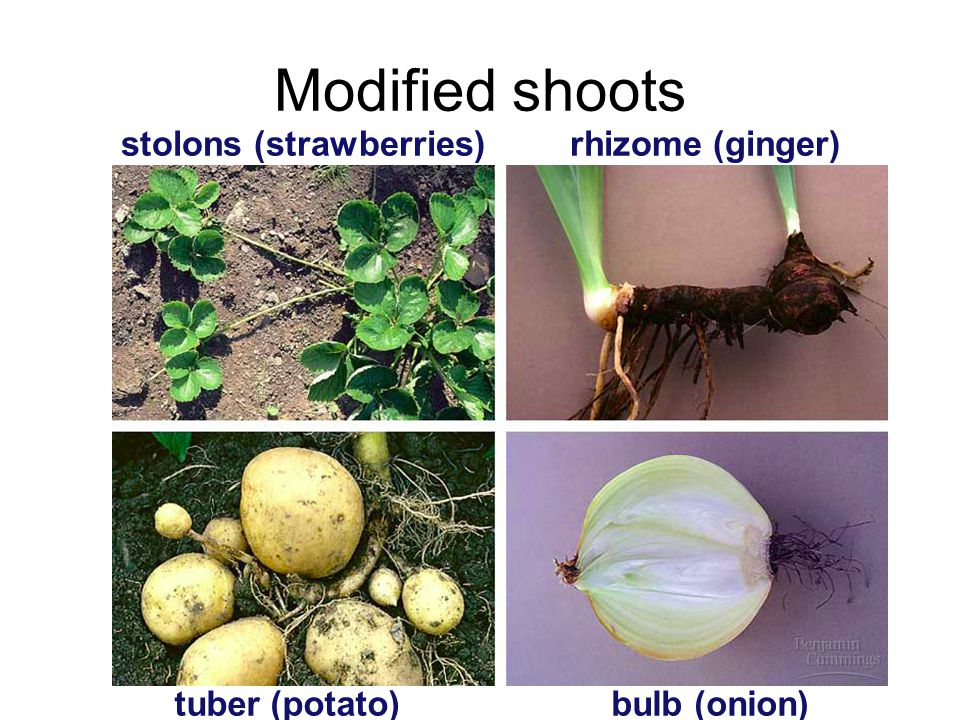 Plant adaptations 1.Roots- –Tap root-used for food storage (carrot) 2.Stems -rhizomes (iris) & stolons (strawberry)- used to make new plants -tubers-