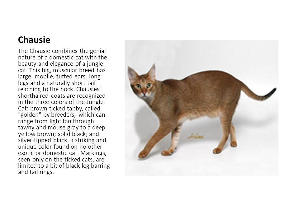Chausie The Chausie combines the genial nature of a domestic cat with the beauty and elegance of a jungle cat.
