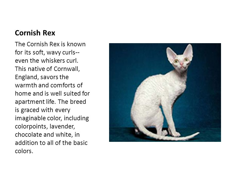 Cornish Rex The Cornish Rex is known for its soft, wavy curls-- even the whiskers curl.