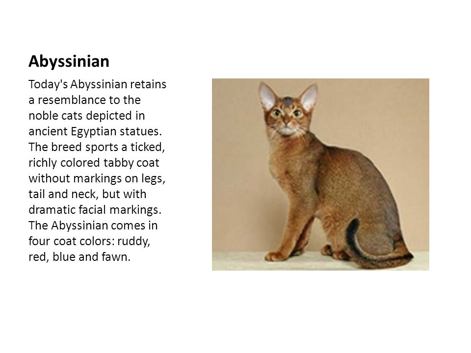 Abyssinian Today s Abyssinian retains a resemblance to the noble cats depicted in ancient Egyptian statues.