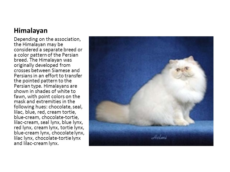 Himalayan Depending on the association, the Himalayan may be considered a separate breed or a color pattern of the Persian breed.