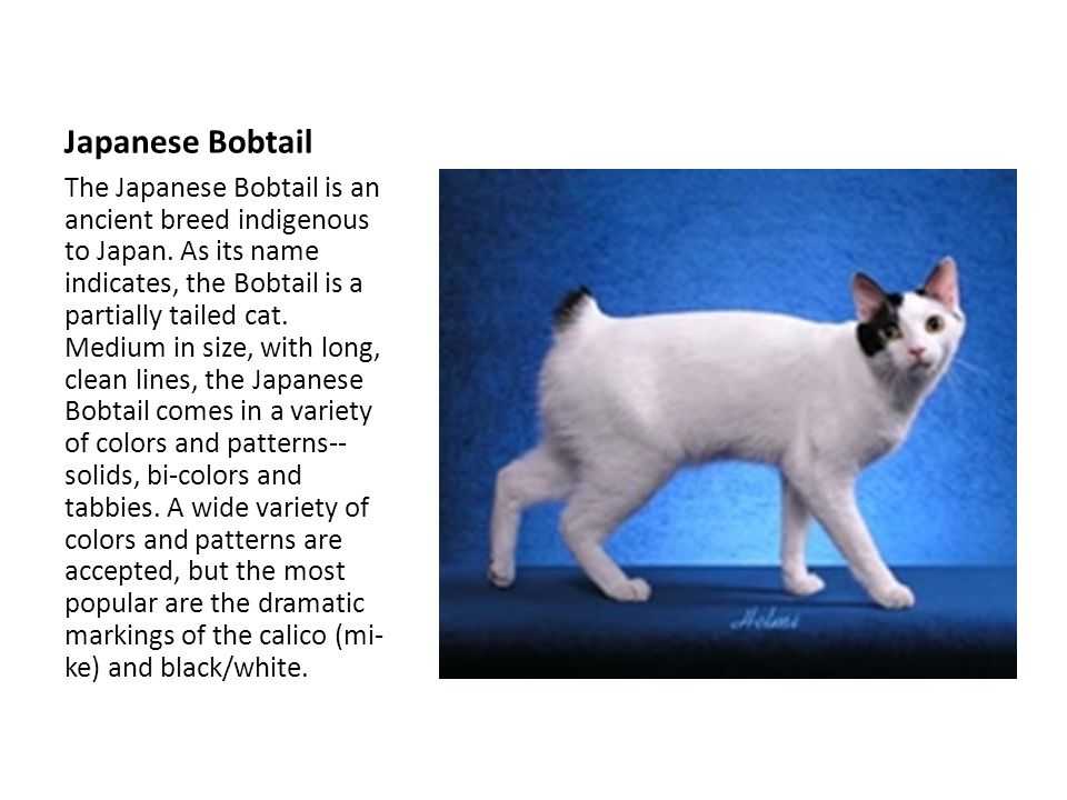 Japanese Bobtail The Japanese Bobtail is an ancient breed indigenous to Japan.