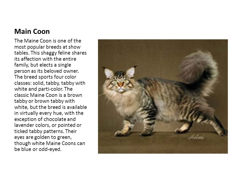 Main Coon The Maine Coon is one of the most popular breeds at show tables.