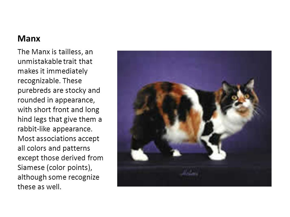 Manx The Manx is tailless, an unmistakable trait that makes it immediately recognizable.