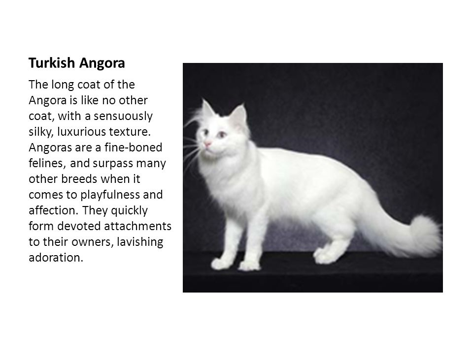 Turkish Angora The long coat of the Angora is like no other coat, with a sensuously silky, luxurious texture.