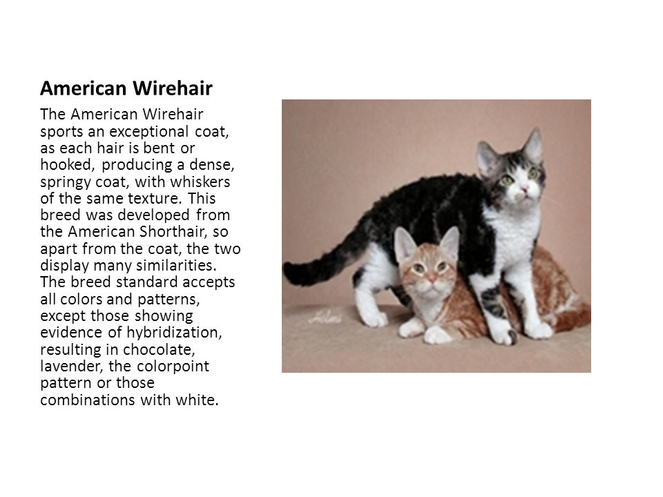 American Wirehair The American Wirehair sports an exceptional coat, as each hair is bent or hooked, producing a dense, springy coat, with whiskers of the same texture.