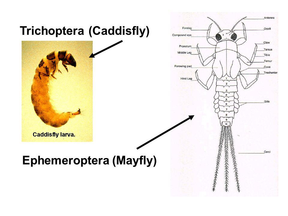 Trichoptera (Caddisfly) Ephemeroptera (Mayfly)
