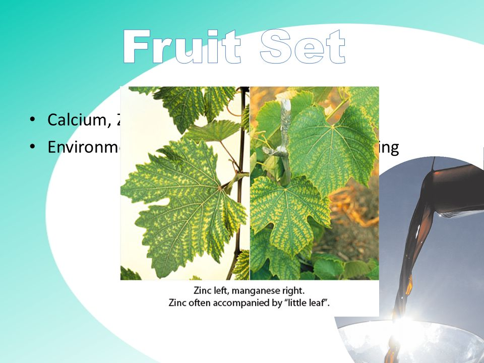 Zinc deficiency causes poor fruit set, which is known as 'hen and chicken' Timing is extremely important, 2 weeks prior to flowering is too late.
