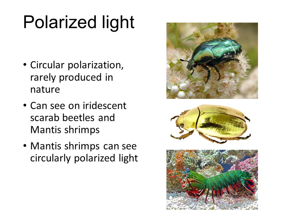 Polarized light Circular polarization, rarely produced in nature Can see on iridescent scarab beetles and Mantis shrimps Mantis shrimps can see circularly polarized light