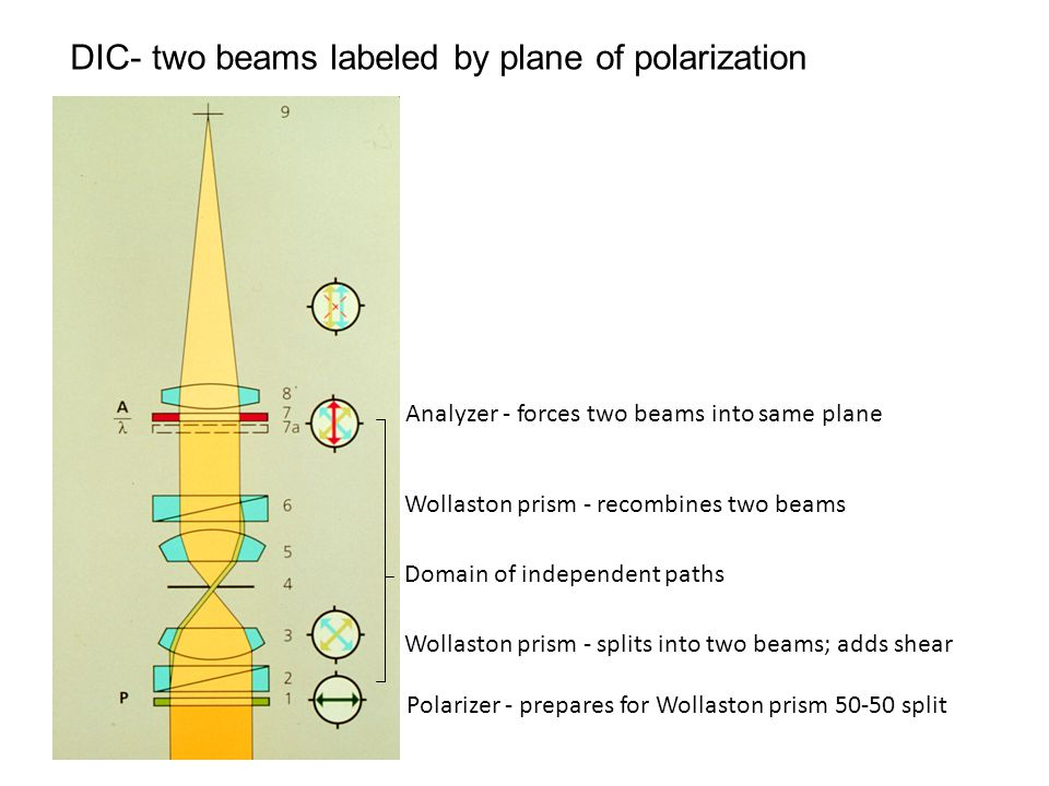 DIC- two beams labeled by plane of polarization Polarizer - prepares for Wollaston prism 50-50 split Wollaston prism - splits into two beams; adds shear Domain of independent paths Wollaston prism - recombines two beams Analyzer - forces two beams into same plane