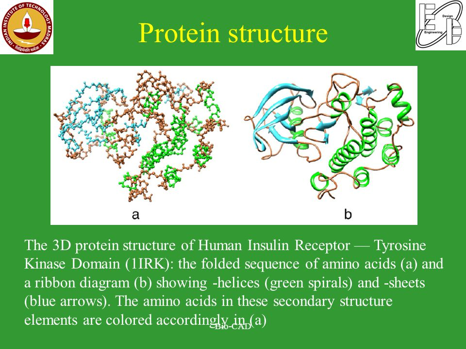 Protein structure Bio-CAD The 3D protein structure of Human Insulin Receptor — Tyrosine Kinase Domain (1IRK): the folded sequence of amino acids (a) and a ribbon diagram (b) showing -helices (green spirals) and -sheets (blue arrows).