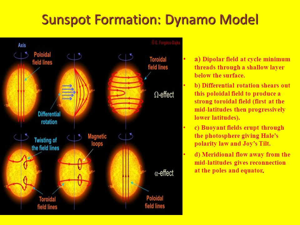 Sunspot Formation: Dynamo Model a) Dipolar field at cycle minimum threads through a shallow layer below the surface. b) Differential rotation shears o