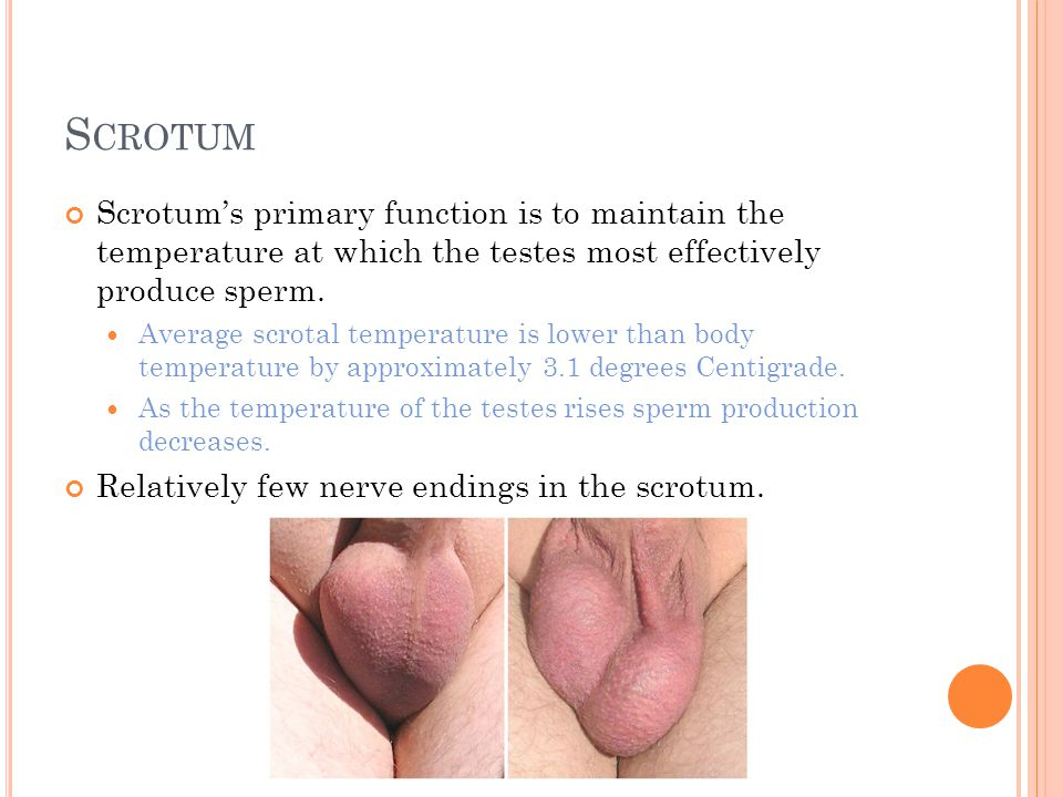 S CROTUM Scrotum's primary function is to maintain the temperature at which the testes most effectively produce sperm. Average scrotal temperature is