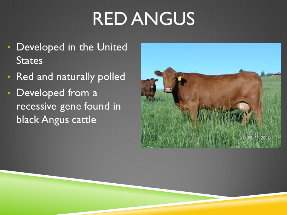 RED ANGUS Developed in the United States Red and naturally polled Developed from a recessive gene found in black Angus cattle
