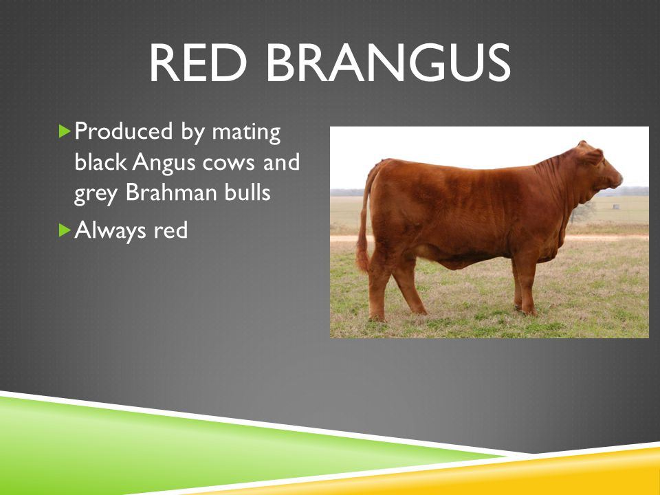 RED BRANGUS  Produced by mating black Angus cows and grey Brahman bulls  Always red