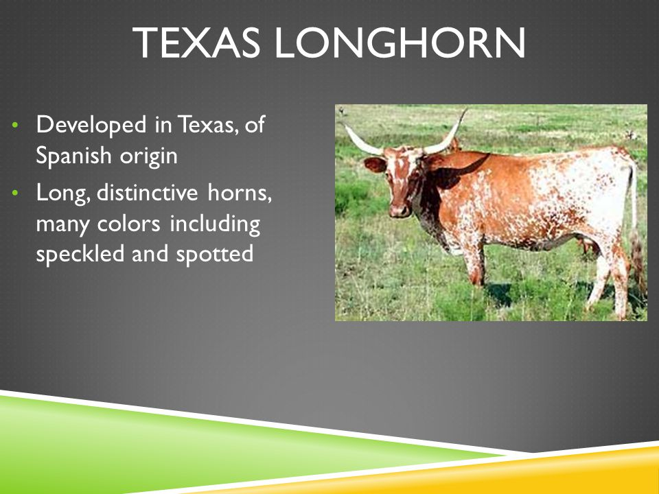 TEXAS LONGHORN Developed in Texas, of Spanish origin Long, distinctive horns, many colors including speckled and spotted