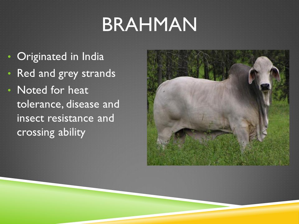 BRAHMAN Originated in India Red and grey strands Noted for heat tolerance, disease and insect resistance and crossing ability