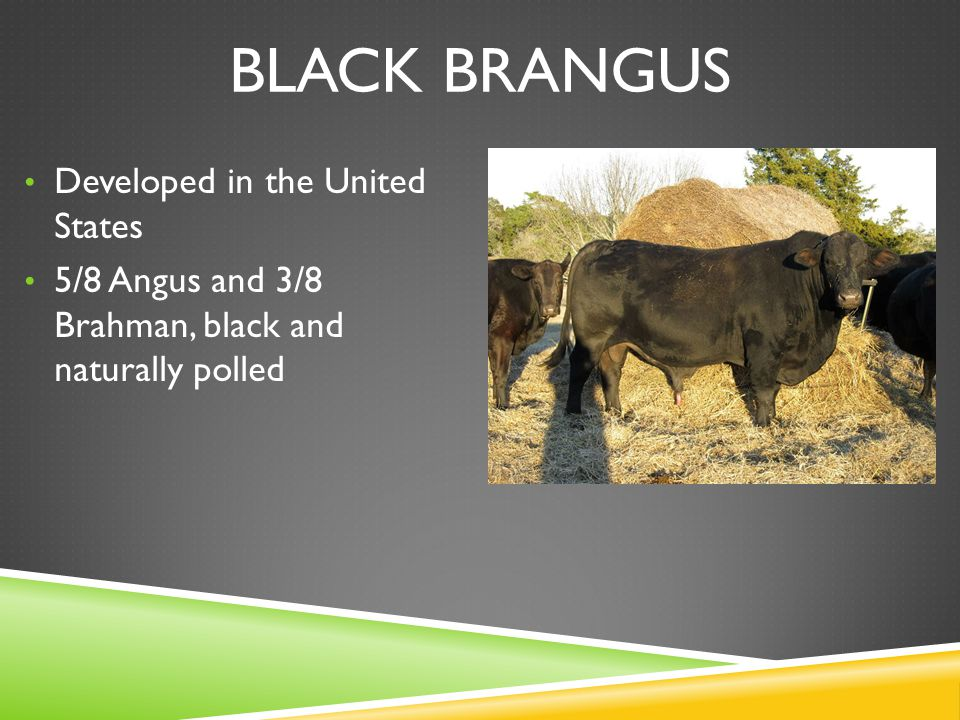BLACK BRANGUS Developed in the United States 5/8 Angus and 3/8 Brahman, black and naturally polled