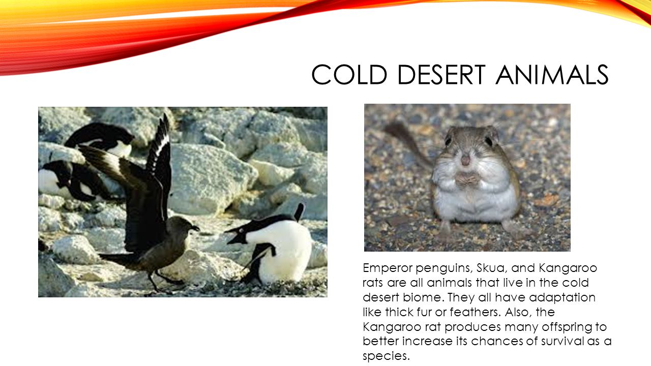 COLD DESERT ANIMALS Emperor penguins, Skua, and Kangaroo rats are all animals that live in the cold desert biome. They all have adaptation like thick