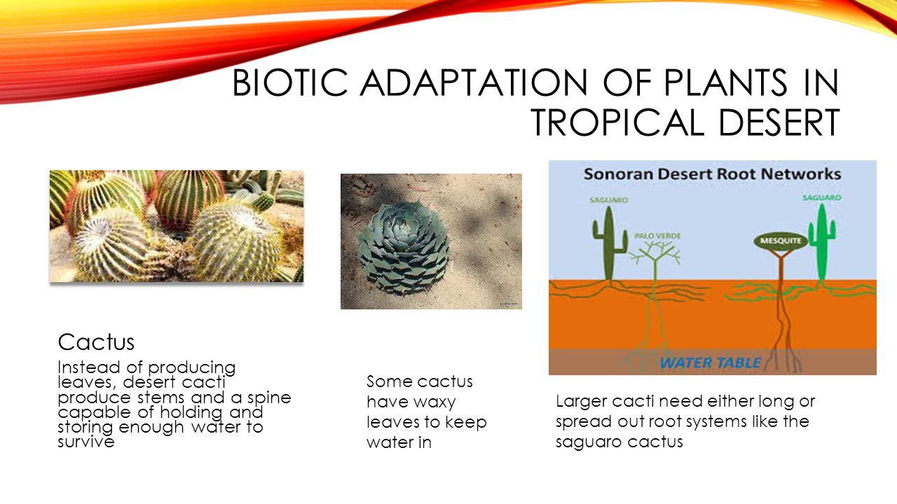 BIOTIC ADAPTATION OF PLANTS IN TROPICAL DESERT Cactus Instead of producing leaves, desert cacti produce stems and a spine capable of holding and stori