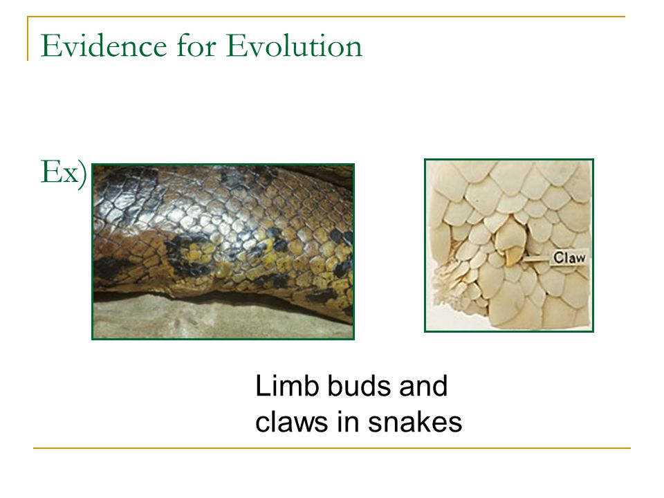 Evidence for Evolution Ex) Limb buds and claws in snakes
