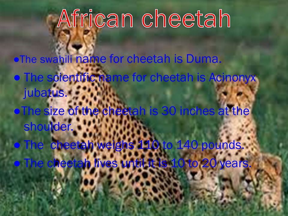 ● The swahili name for cheetah is Duma. ● The scientific name for cheetah is Acinonyx jubatus.