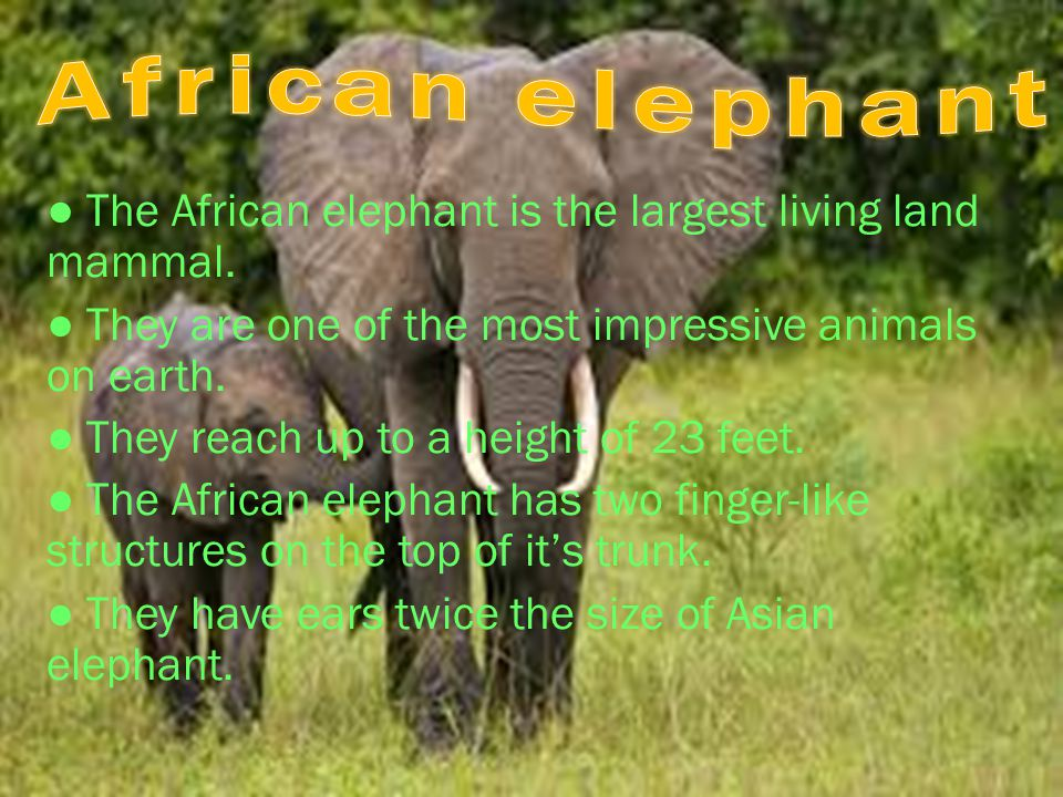 ● The African elephant is the largest living land mammal. ● They are one of the most impressive animals on earth. ● They reach up to a height of 23 fe
