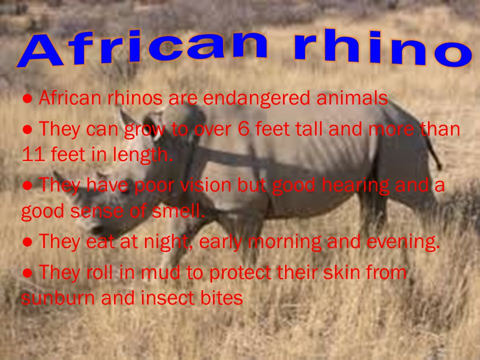 ● African rhinos are endangered animals ● They can grow to over 6 feet tall and more than 11 feet in length.