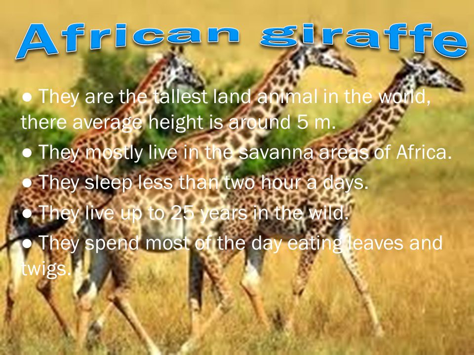 ● They are the tallest land animal in the world, there average height is around 5 m. ● They mostly live in the savanna areas of Africa. ● They sleep l
