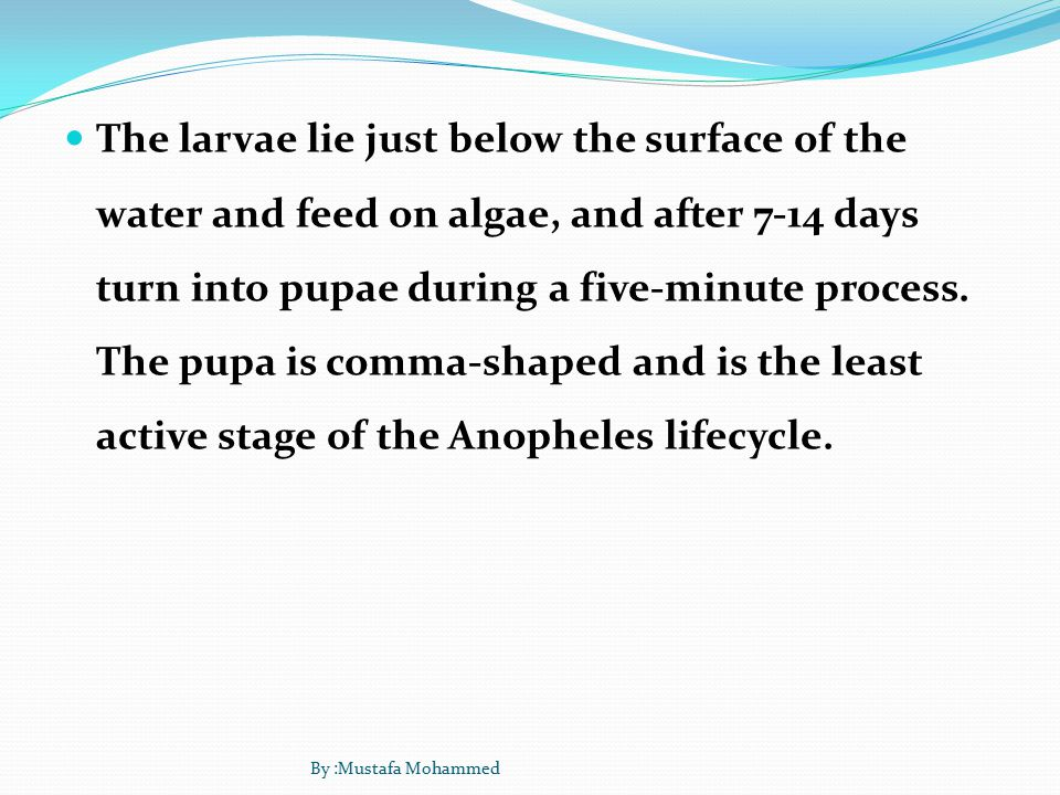 The larvae lie just below the surface of the water and feed on algae, and after 7-14 days turn into pupae during a five-minute process.