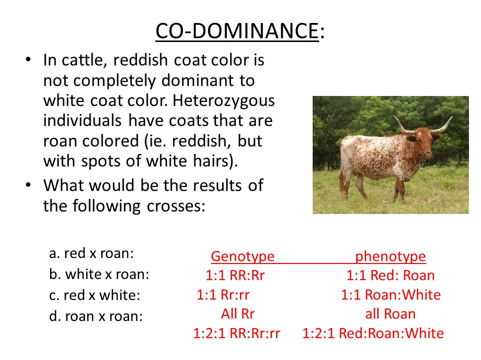 CO-DOMINANCE: In cattle, reddish coat color is not completely dominant to white coat color. Heterozygous individuals have coats that are roan colored