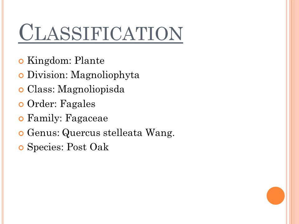 C LASSIFICATION Kingdom: Plante Division: Magnoliophyta Class: Magnoliopisda Order: Fagales Family: Fagaceae Genus: Quercus stelleata Wang. Species: P