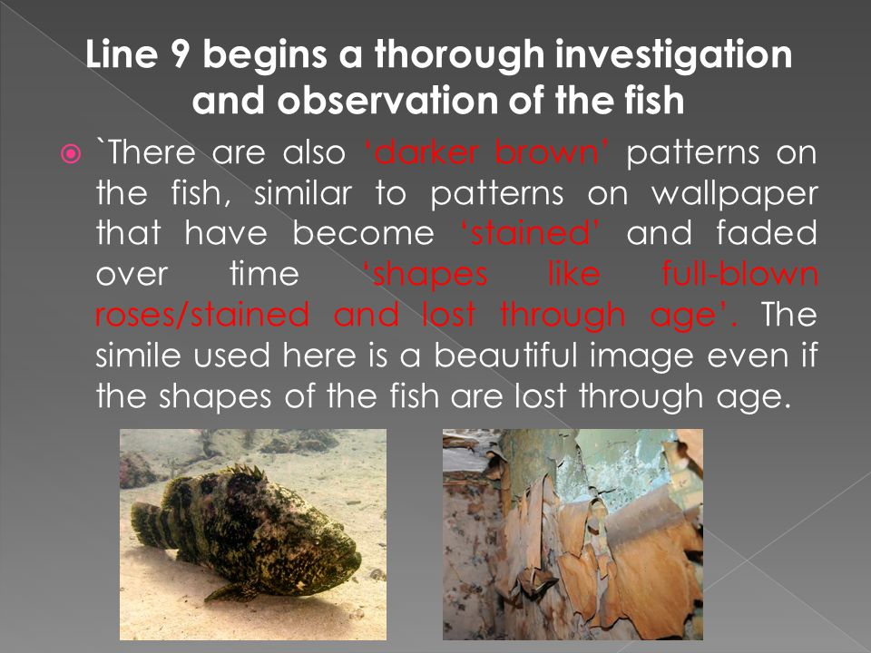 Line 9 begins a thorough investigation and observation of the fish  `There are also 'darker brown' patterns on the fish, similar to patterns on wallpaper that have become 'stained' and faded over time 'shapes like full-blown roses/stained and lost through age'.