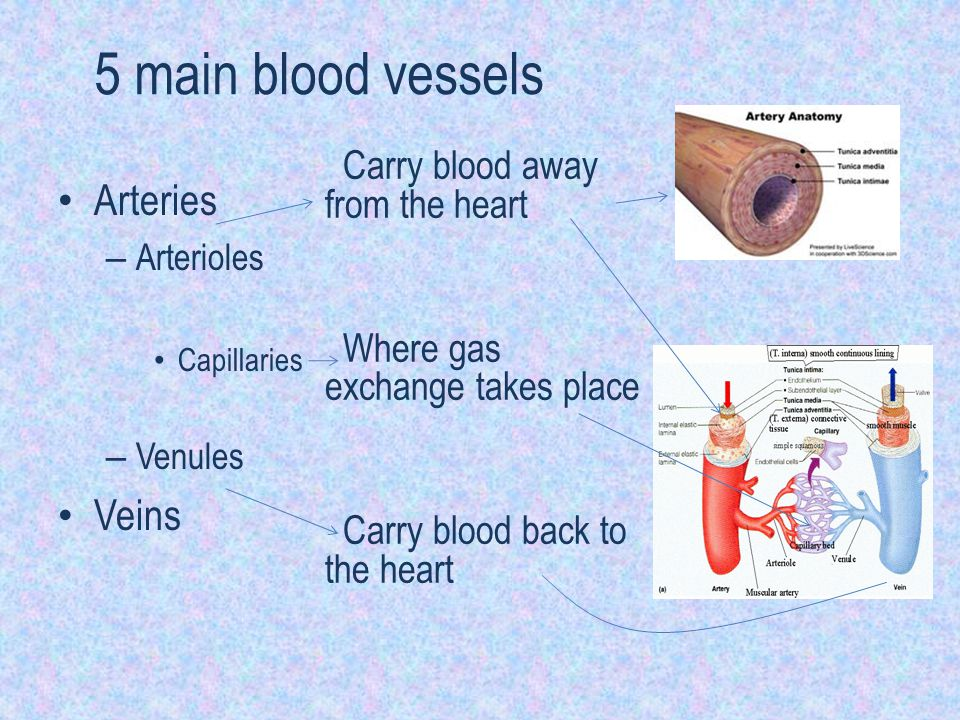 5 main blood vessels Arteries – Arterioles Capillaries – Venules Veins Carry blood away from the heart Where gas exchange takes place Carry blood back