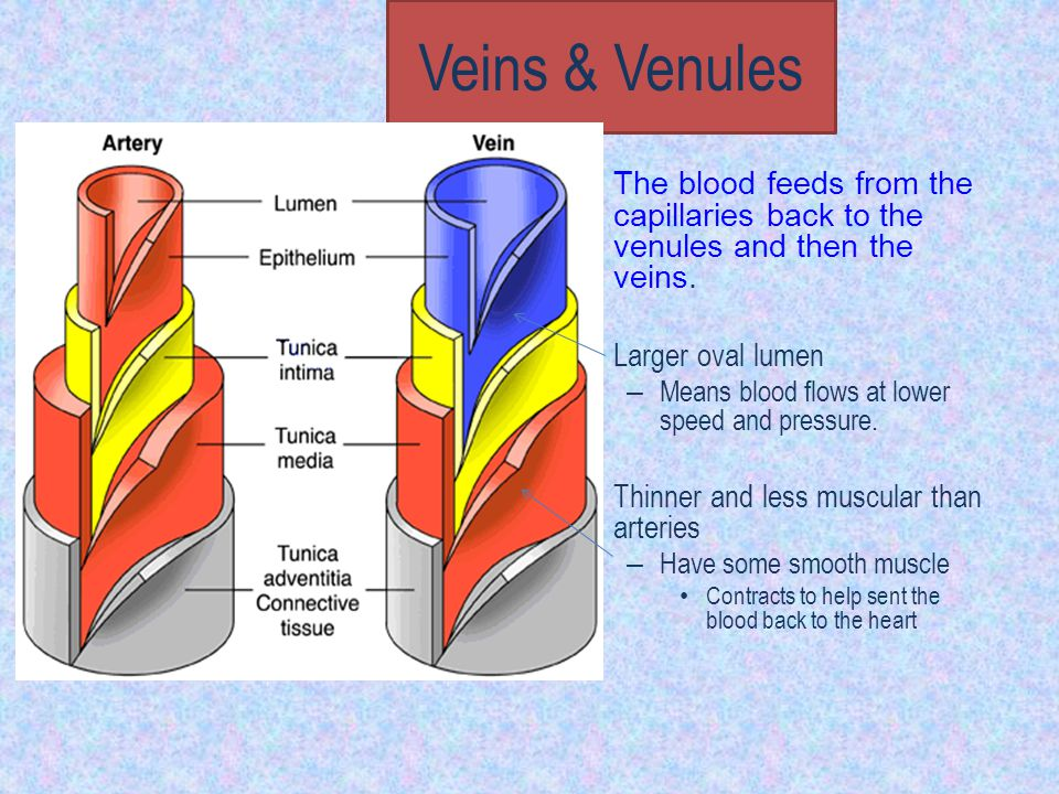 Veins & Venules The blood feeds from the capillaries back to the venules and then the veins. Larger oval lumen – Means blood flows at lower speed and