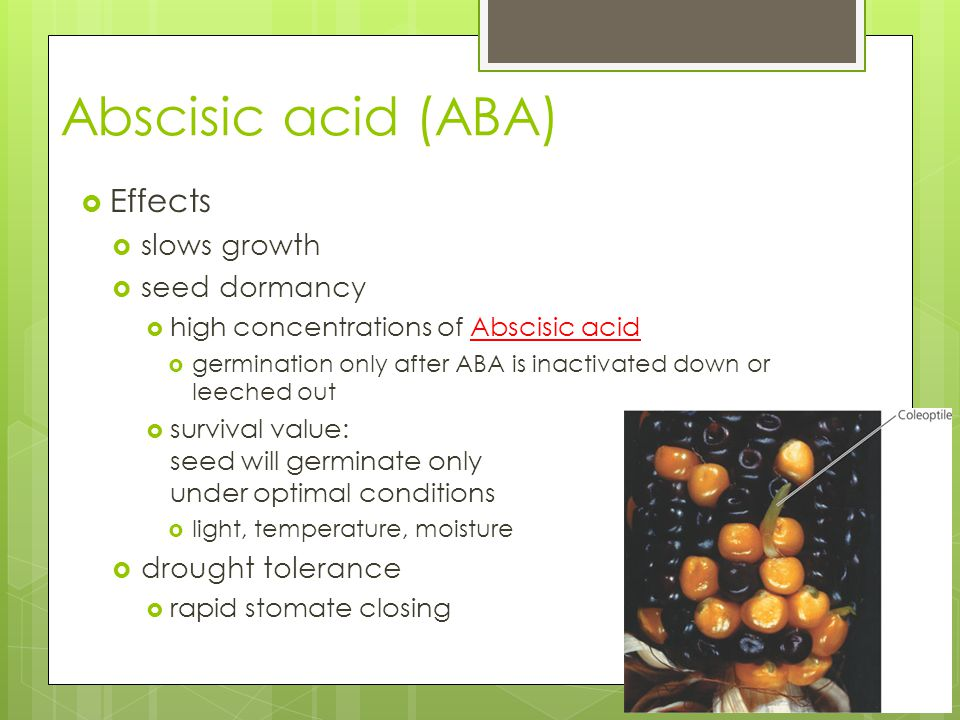 Abscisic acid (ABA)  Effects  slows growth  seed dormancy  high concentrations of Abscisic acid  germination only after ABA is inactivated down o