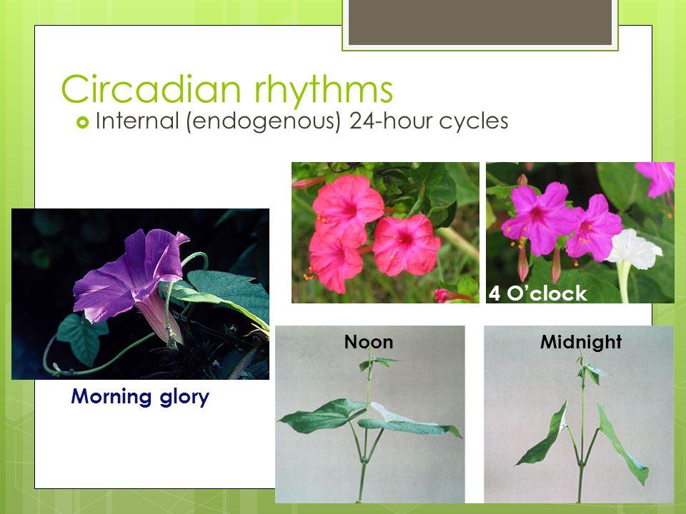 Circadian rhythms  Internal (endogenous) 24-hour cycles Morning glory 4 O'clock NoonMidnight