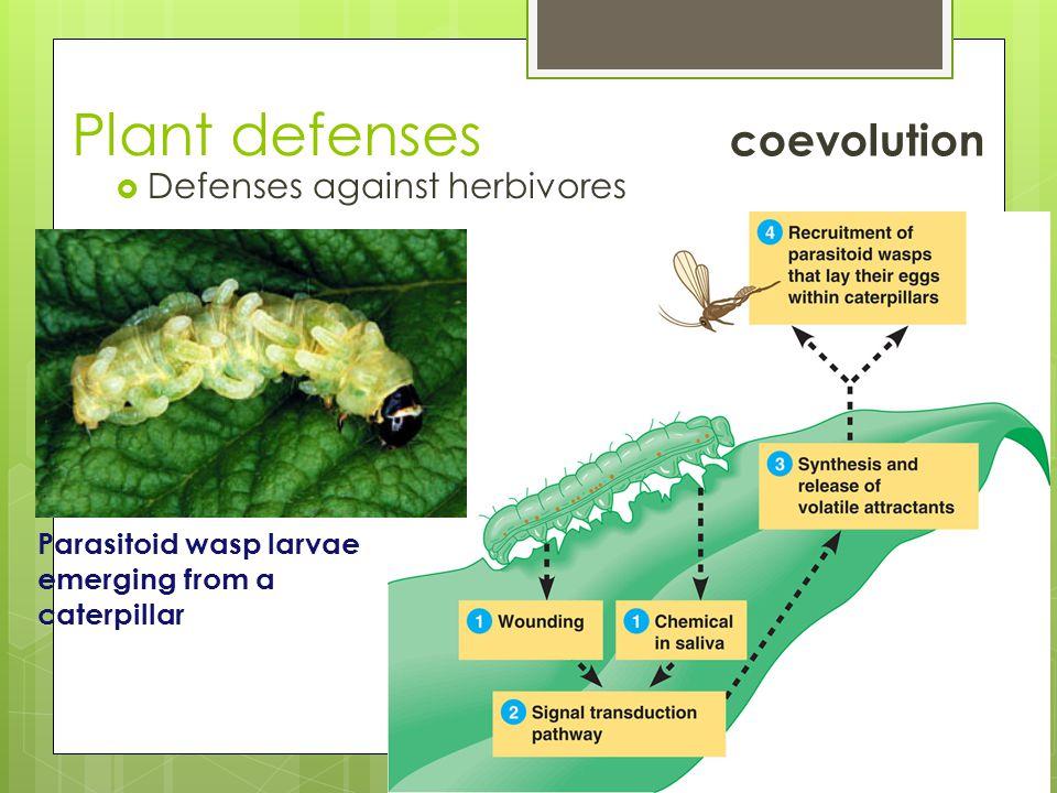 Plant defenses  Defenses against herbivores Parasitoid wasp larvae emerging from a caterpillar coevolution