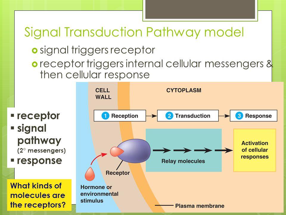 Signal Transduction Pathway model  signal triggers receptor  receptor triggers internal cellular messengers & then cellular response  receptor  si