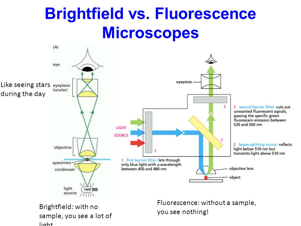 Brightfield vs. Fluorescence Microscopes Brightfield: with no sample, you see a lot of light.