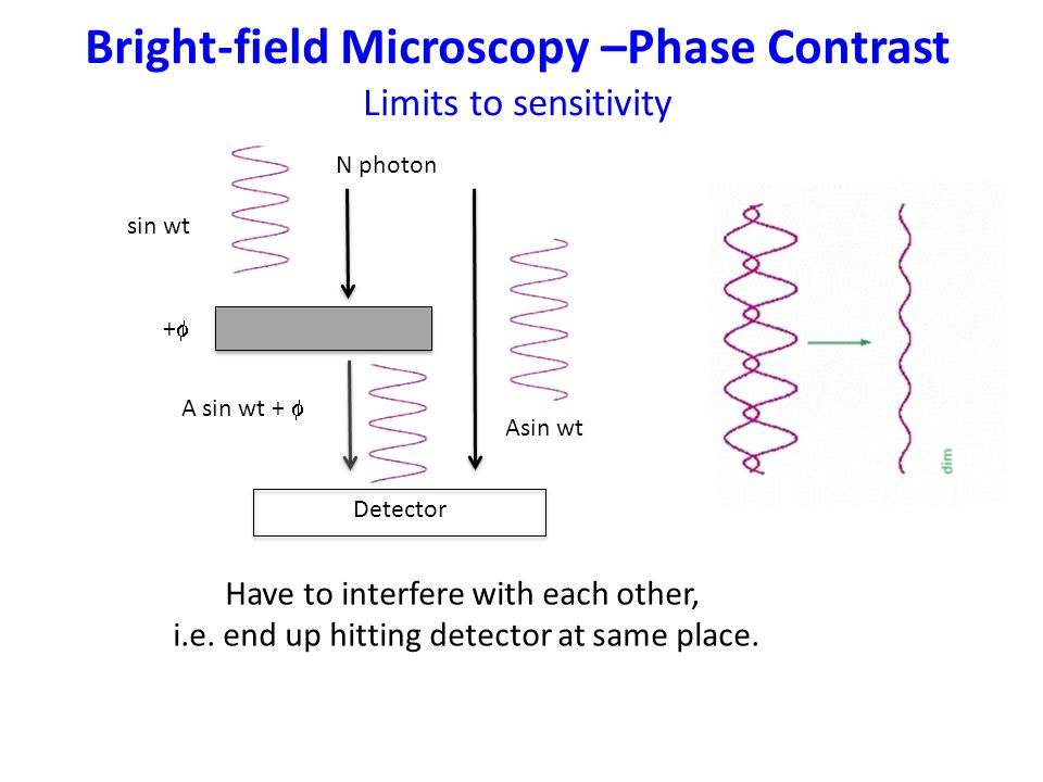 Bright-field Microscopy –Phase Contrast Limits to sensitivity Have to interfere with each other, i.e.